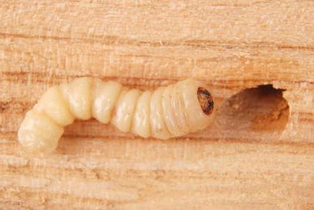 Larva bark beetle (Scolytinae). Larva of Bark beetles legless on wood background. Stock Photo