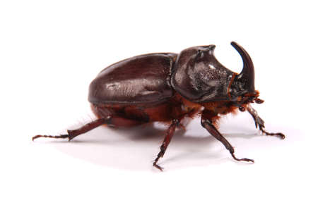 Closeup shot of male Rhinoceros beetle (Oryctes nasicornis) isolated on white background