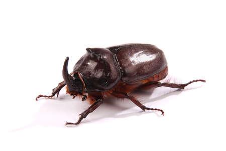 Closeup shot of male Rhinoceros beetle (Oryctes nasicornis) isolated on white background