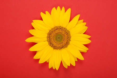 Flower of sunflower isolated on red background. Seeds and oil. Flat lay, top view
