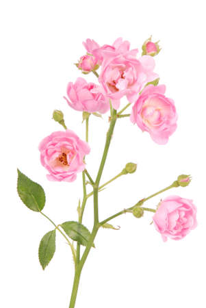 Pink rose with button isolated on white background