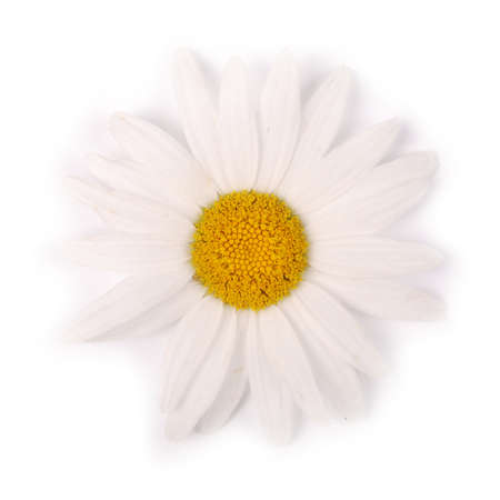 One white chamomile flower isolated on white background. Flat lay, top view