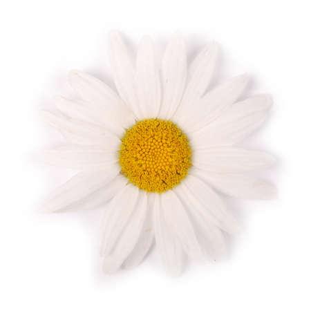 Un fiore di camomilla bianco isolato su sfondo bianco. Disposizione piatta, vista dall'alto