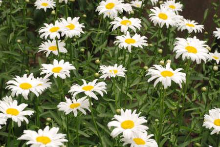 Floración de margaritas. Margarita ojo de buey, Leucanthemum vulgare, margaritas, margarita común, margarita perro, margarita luna. Concepto de jardinería Foto de archivo