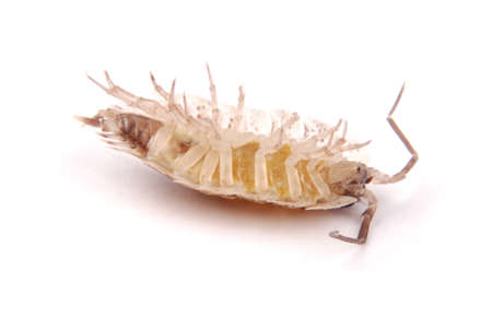 Close up view of a common woodlice (Porcellio scaber) from the front isolated on a white background with soft shadow