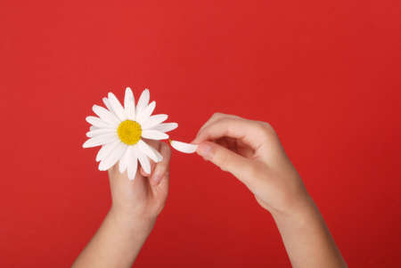 Loves or not loves me, plucking off the petals of a camomile. Human hands tear on a petal from a head of daisies on a red background, top view. Zdjęcie Seryjne
