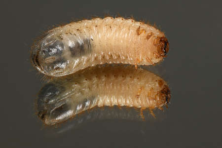 The larvae of the may beetle (Melolontha). Beetle larvae on the mirror. High resolution photo. Full depth of field.