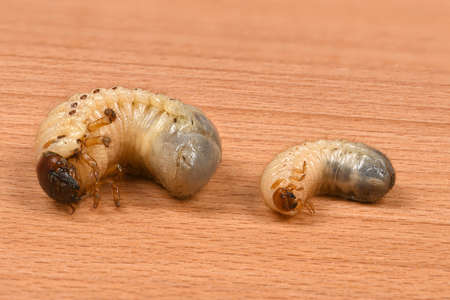 Larva of two beetles, rhinoceros beetle (Oryctes nasicornis) and may-bug (Melolontha)  on a wooden board. High resolution photo. Full depth of field.