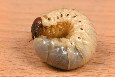 The larvae of the rhinoceros beetle (Oryctes nasicornis). Beetle larvae on a wooden board. High resolution photo. Full depth of field. Stock Photo