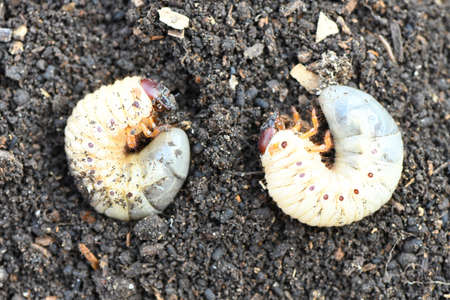 Larva of two may beetle (Melolontha) on the dirt. High resolution photo.