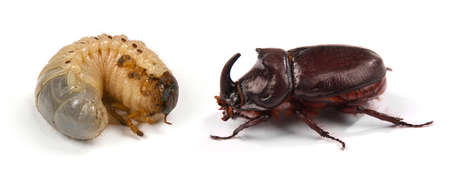 Closeup shot of larva of a rhinoceros beetle (Oryctes nasicornis) and male rhinoceros beetle (Oryctes nasicornis) isolated on a white background. High resolution photo. Full depth of field.