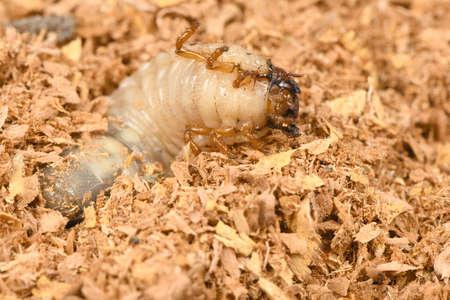 The larvae of the rhinoceros beetle (Oryctes nasicornis). Beetle larvae on a wooden sawdust. High resolution photo. Full depth of field.