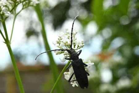 Black monochamus beetle (Monochamus sutor) pollinating at bright valerian flowers