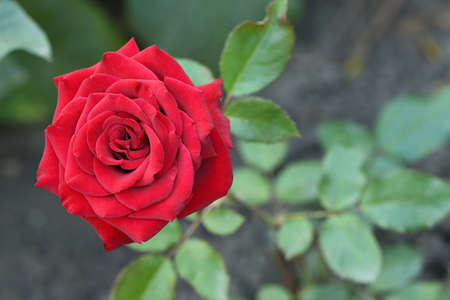 Red colored rose, beautiful flower blooming in the garden. High resolution photo. Full depth of field. Stock Photo