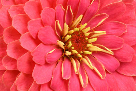 Red colored zinnia, beautiful flower background. High resolution photo. Full depth of field.