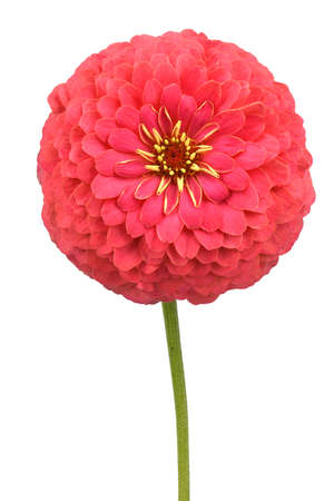Red colored zinnia, beautiful flower isolated on white background. High resolution photo. Full depth of field.