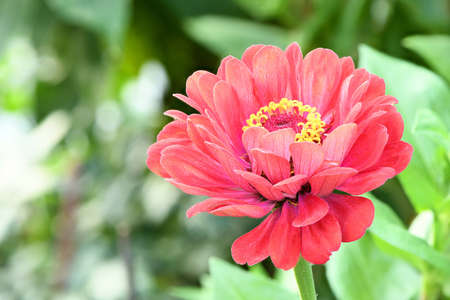 Orange colored zinnia, beautiful flower blooming in the garden. High resolution photo. Full depth of field. Banco de Imagens