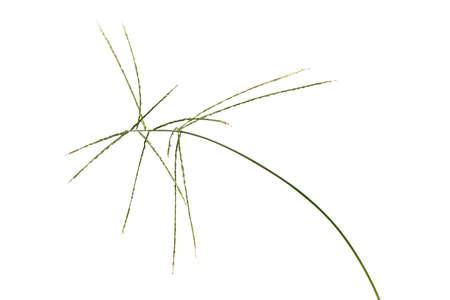 Digitaria sanguinalis isolated on white.