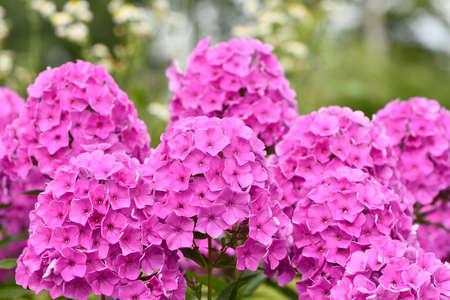 Violet flowers of phlox (Phlox douglasii) plant. High resolution photo. Stockfoto