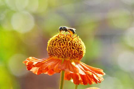 Wild bee collecting nectar from orange flower. High resolution photo Stockfoto