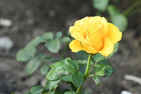 Yellow colored rose, beautiful flower blooming in the garden. High resolution photo. Full depth of field.