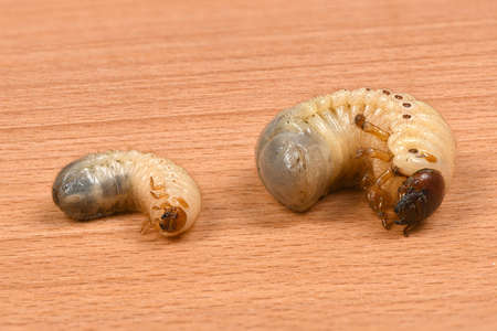 Larva of two beetles, rhinoceros beetle (Oryctes nasicornis) and may-bug (Melolontha)  on a wooden board. High resolution photo. Full depth of field. 写真素材 - 133540514