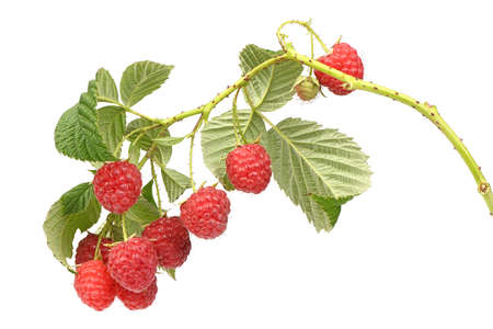 Raspberry twig with leaves isolated on white background
