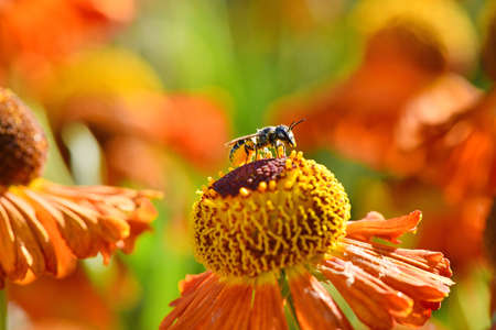 Wild bee collecting nectar from orange flower. High resolution photo