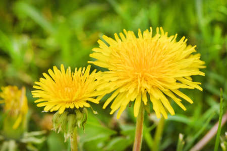 Yellow dandelions. Bright flowers dandelions on a background of green spring meadows. High resolution photo. Selective focus.