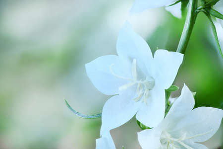 "Campanula latifolia alba giant bellflower white plant. Is Latin for ""little bell"". In Russian it is called kolokolchik. In Ukrainian it is called Dzvonik."