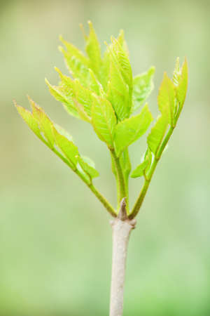 Bright green young leaves of mountain ash. High resolution photo. Selective focus. Shallow depth of field.