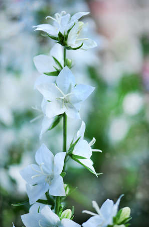 "Campanula latifolia alba giant bellflower white plant. Is Latin for ""little bell"". In Russian it is called kolokolchik. In Ukrainian it is called Dzvonik. Stock Photo"
