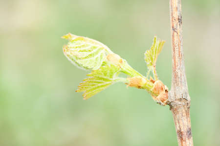 Young shoot with an ovary of grapes and small leaves. High resolution photo. Selective focus. Shallow depth of field.