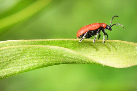 Scarlet lily beetle (Lilioceris lilii) on damaged leaf. High resolution photo. Full depth of field.