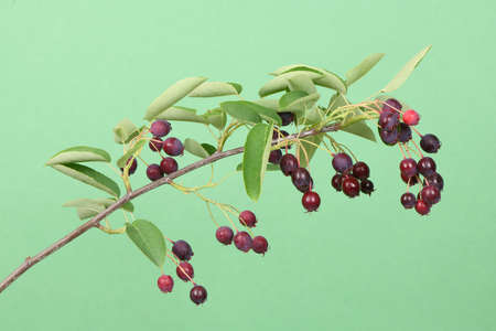 Branch with berries amelanchier, shadbush, shadwood, shadblow, serviceberry, sarvisberry, juneberry, saskatoon, sugarplum, wild-plum or chuckley pear. Isolated on green background. High resolution photo. Full depth of field.