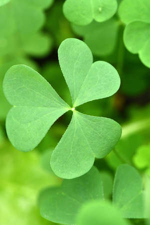 Green clover leaf for green background. St. Patrick's day vacation and holiday clovers symbol. High resolution photo.