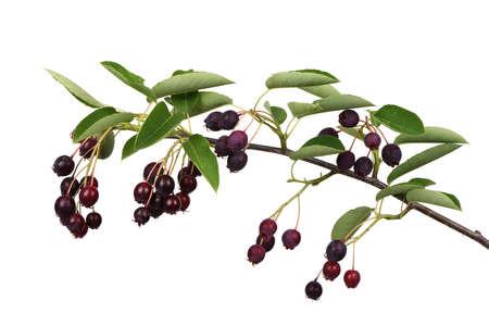 Branch with berries amelanchier, shadbush, shadwood, shadblow, serviceberry, sarvisberry, juneberry, saskatoon, sugarplum, wild-plum or chuckley pear. Isolated on white background. High resolution photo. Full depth of field.