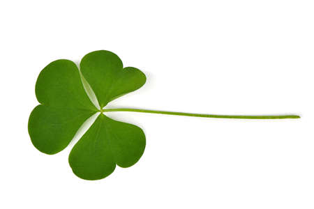 Green clover leaf isolated on white background. St. Patrick's day vacation and holiday clovers symbol. High resolution photo. Full depth of field.