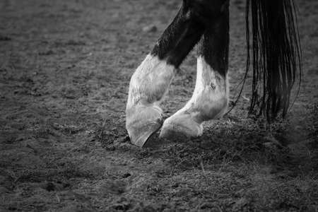 white stockings: Dancing horses legs with black top and white stockings and tail near