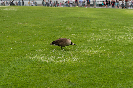 Canada goose on Liberty Island in New York City, next to the Statue of Liberty