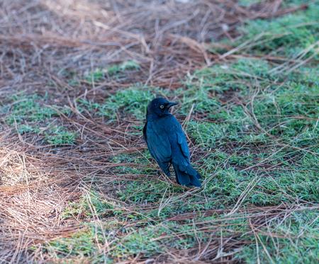 Brewer blackbird at the Lake Balboa Park in Los Angeles, California