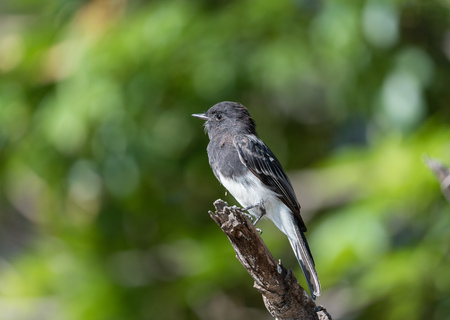 Black phoebe at the Balboa Park in Los Angeles, California Banco de Imagens