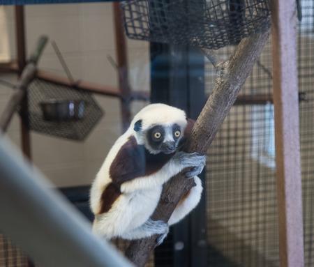 Sifaka lemur at the Duke Lemur center Standard-Bild - 110786049