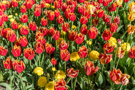 Gorgeous red and yellow fringed tulips in springtime, Southern California