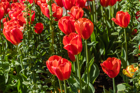 Gorgeous bright red tulips in springtime, Southern California Stock Photo