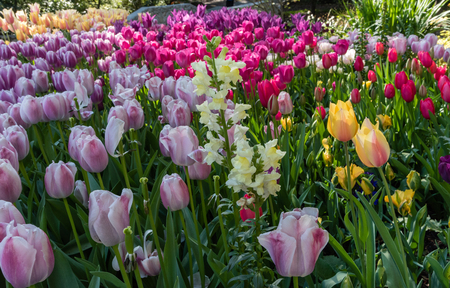Beautiful multicolored tulips and yellow lupine in springtime, Southern California