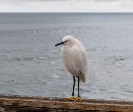 White heron at the Oceanside pier, Southern California