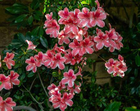 Beautiful blooming pink and white azalea flowers