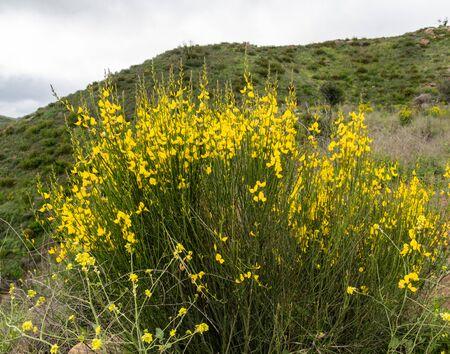 Blooming deerweed bush in springtime, Malibu, Southern California