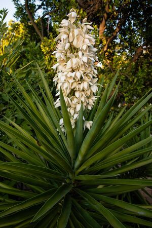 Beautiful flowering yucca plant in Los Angeles, Southern California